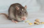 Рейтинг лучших кормов для крыс (ТОП-7) 2021